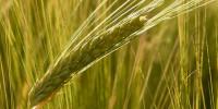 El serio problema de la caída de precio de los cereales