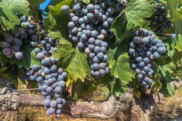 grape-1618308_640